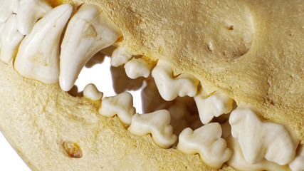 Dog skull Teeth detail