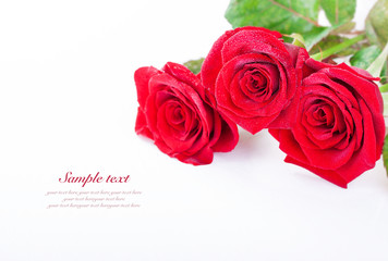 Red roses with water droplets on a white background with sample text