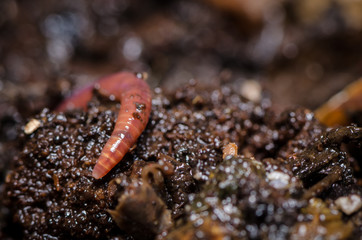 Kompostwurm (Eisenia fetida)
