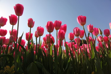 tulip field with sky