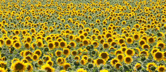 Bright yellow backlit sunflowers, or helianthus in a field of young plants with many unopened buds in a full frame panorama