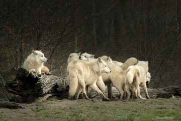 Meute de loups blanc