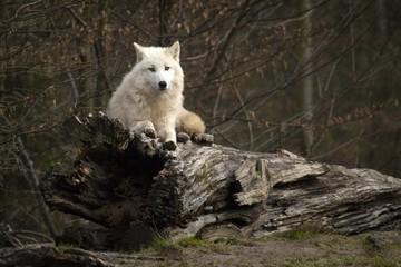 Loup blanc sur tronc d'arbre