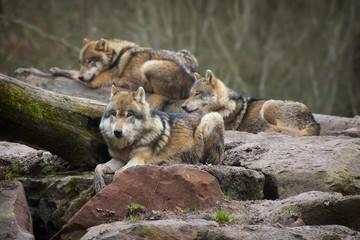 Meute de loups gris