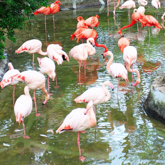 Gorup of flamingo