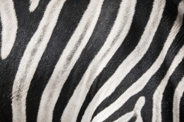 zebra in detail