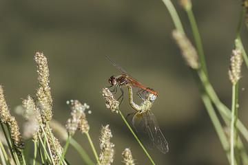 composizione orizzontale fotografica di coppia di libellule in atto riproduzione