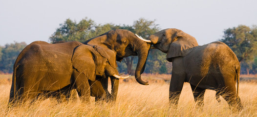 Wall Mural - Two elephants playing with each other. Zambia. Lower Zambezi National Park. Zambezi River. An excellent illustration.