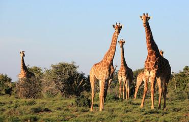 Wild African Southern Giraffes