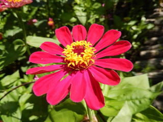 Blooming red daisy flower