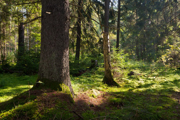Fototapete - Old coniferous stand of Bialowieza Forest in summer morning