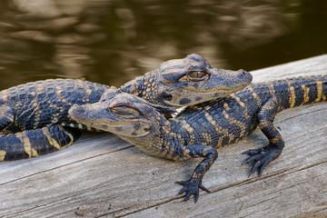 Alligator Babies 1