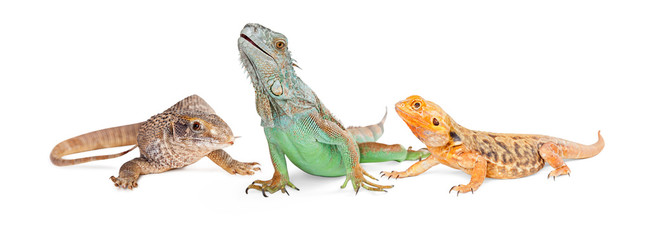 Three Types of Lizards-Vertical Banner Wall mural