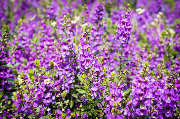 purple flowers in the field,summer or spring background