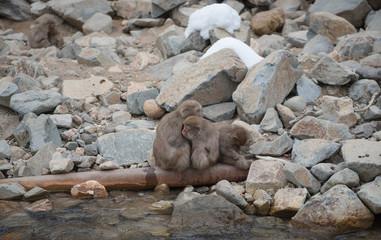 Family of japanese snow monkeys cold feeling  before snowfall in the park, Jigokudani Wild Monkey Park, Yamanouchi-machi, nagano ken, Japan.