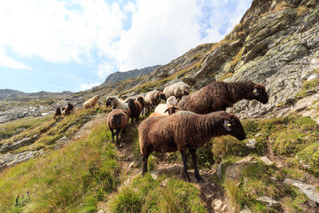 Flock of sheep in the mountains, Hohe Tauern Alps, Austria