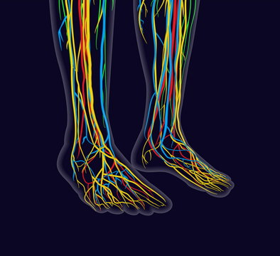 Medically accurate vector illustration of human feet, includes nervous system, veins, arteries, etc