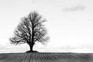 Lonel tree in a field black and white
