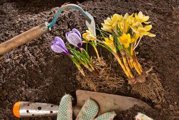 planting of violet crocus