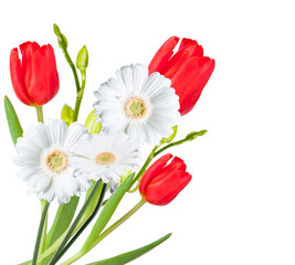 Gerber Daisy, tulip isolated on white background