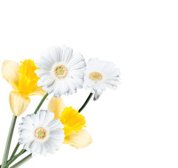 Gerber Daisy, and narcissus isolated on white background