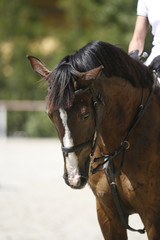Face of a beautiful purebred racehorse on show jumping training