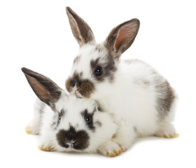 two white rabbits, isolated on white