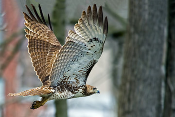 Red-tailed Hawk in Flight Wall mural