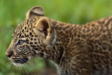 Wall Mural - Portrait of a Leopard cub in Masai Mara, Kenya