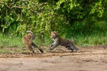 Wall Mural - Playing Leopard cubs in Masai Mara, Kenya
