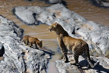 Wall Mural - Leopard Bahati with her cub on the stones of Talek River in Masai Mara