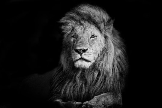 Beautiful Lion Romeo 2 of Double Cross Pride in Masai Mara, Kenya