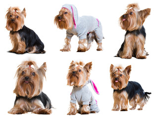 Set of  Yorkshire Terriers