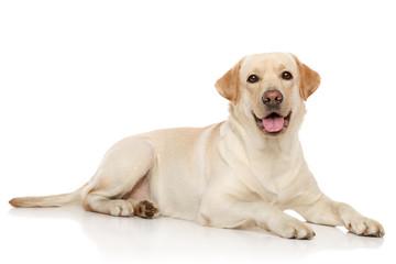 Young Labrador retriever