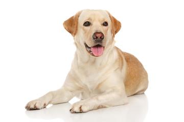 Young happy Labrador dog