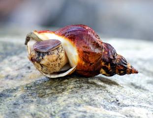 Marine snail on stone