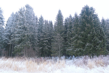 landscape winter forest in hoarfrost background