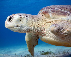 This injured Sea Turtle is one of the resident turtles in Marsa Mubarak (Marsa Alam)
