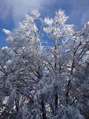 snowy beech