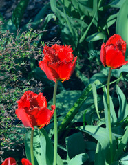 Beautiful red tulips in a sunny spring green garden