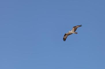 Osprey bird, Pandion haliaetus, flies against a blue sky in spring