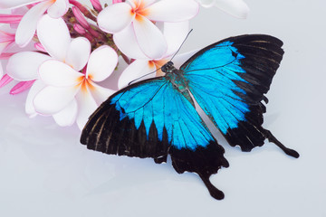 Papilio ulysses butterfly with pink and white frangipani / plumeria on white background