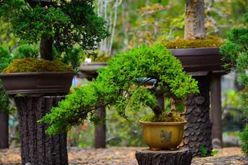 Bonsai in Garden