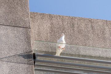 white pigeon on cement wall