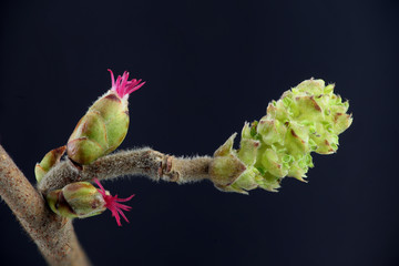 Closeup of a Corylus avellana, the Common Hazel. Pollen of hazel causes hay fever and common allergy. Here is the female flower in early spring with pollen all over.