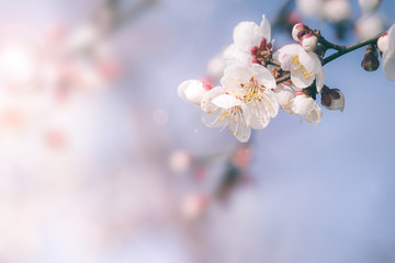 Cherry blossom in spring with soft focus, background