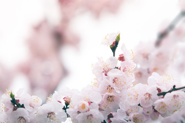 Wall Mural - Cherry blossom in spring with soft focus, background