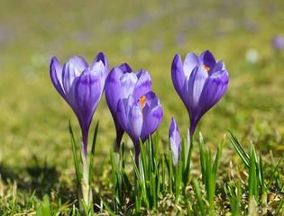 Purple crocuses in spring day