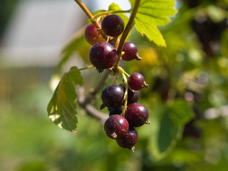 Black currants on branch