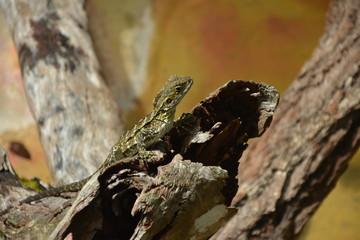 Lizard in Cairns, Australia